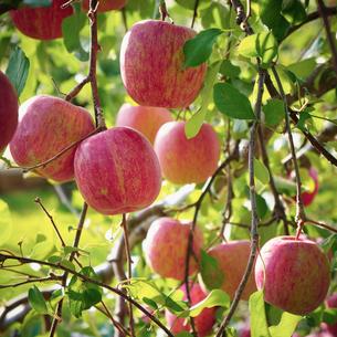 実るリンゴの写真素材 [FYI02686838]