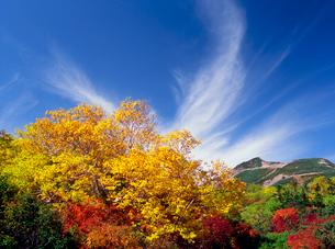 乗鞍岳位ヶ原のダケカンバ紅葉と摩利支天岳の写真素材 [FYI02686874]