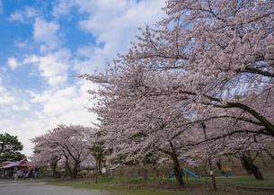 若木山公園の桜の写真素材 [FYI02686925]