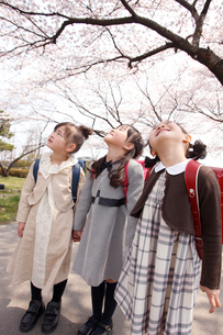 桜を見上げる新入学の女の子3人の写真素材 [FYI02687370]