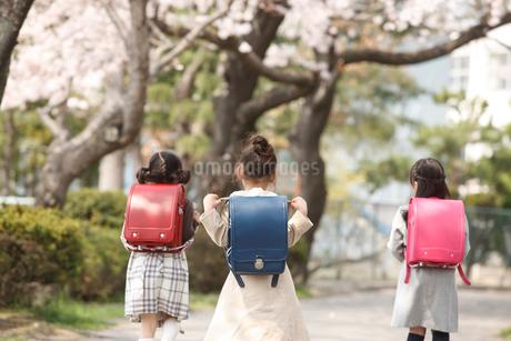 新入学の女の子3人後姿と桜の写真素材 [FYI02687542]