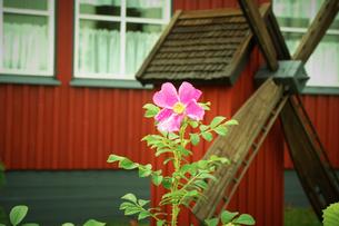 ポルヴォー旧市街に咲く花 フィンランドの写真素材 [FYI02687662]