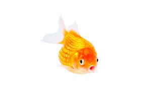 金魚の写真素材 [FYI02688002]