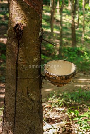 ゴムの木の樹液採取の写真素材 [FYI02688156]