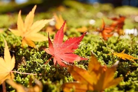 紅葉の散りもみじの写真素材 [FYI02688620]
