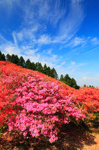 葛城山のツツジの写真素材 [FYI02688677]