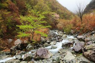 旧行者還林道の新緑とヤマザクラ 布引谷の写真素材 [FYI02688682]