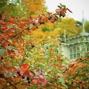 黒い実が生る紅葉の枝の写真素材 [FYI02688870]