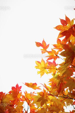 紅葉の写真素材 [FYI02688958]