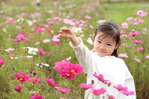 コスモス畑の女の子の写真素材 [FYI02689041]