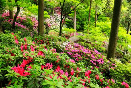 大興善寺公園・契園のツツジの写真素材 [FYI02689179]