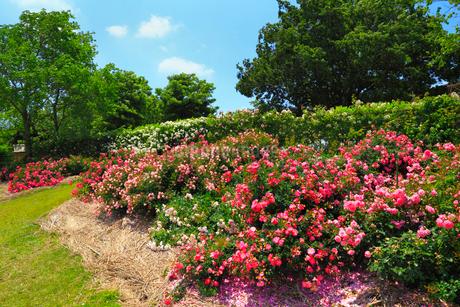 かのやばら園のバラの写真素材 [FYI02689255]