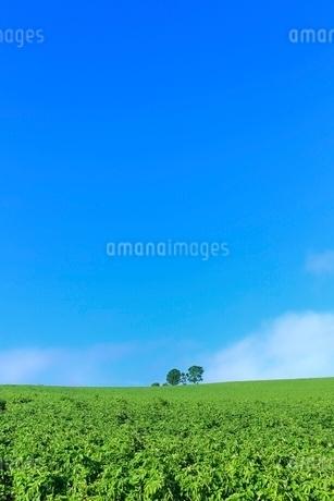 美瑛 親子の木の写真素材 [FYI02689263]