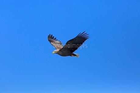 飛翔するオオワシの写真素材 [FYI02689408]