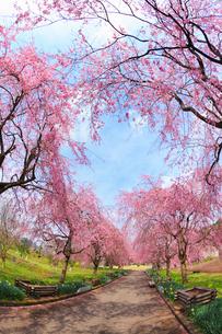 シダレザクラ並木と道の写真素材 [FYI02689429]
