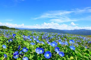 アサガオ(ヘブンリーブルー) の花畑の写真素材 [FYI02689478]