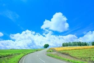 美瑛 セブンスターの木と道の写真素材 [FYI02689495]