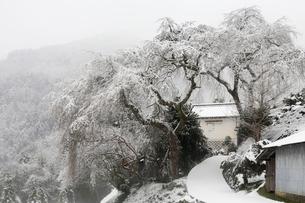 貝原のシダレザクラと雪景色の写真素材 [FYI02689665]