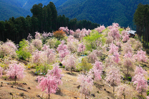 高見の郷 天空の庭のシダレザクラの写真素材 [FYI02689862]