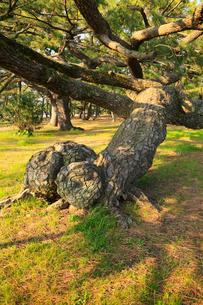 琴弾公園の名松の写真素材 [FYI02689979]