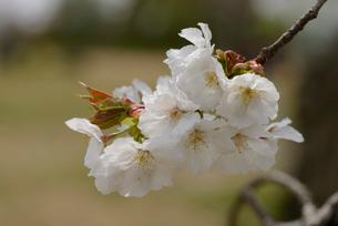 桜 太白の写真素材 [FYI02690026]