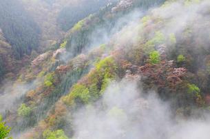 旧行者還林道の新緑とヤマザクラの写真素材 [FYI02690186]