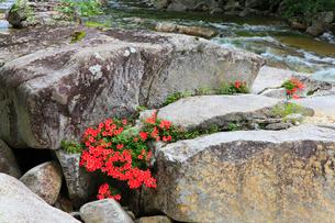 赤沢渓谷の木曽川サツキの写真素材 [FYI02690335]