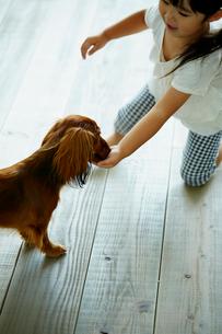 カニンヘンダックスフンドにおやつをあげる女の子の写真素材 [FYI02690345]