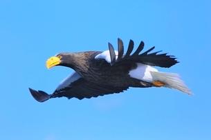 飛翔するオオワシの写真素材 [FYI02690531]