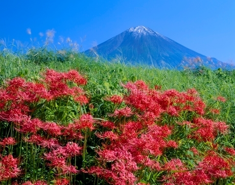 富士宮市上柚野のヒガンバナと富士山の写真素材 [FYI02690547]