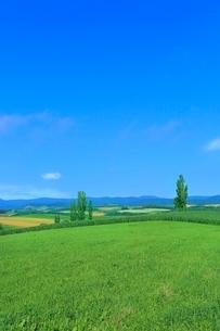 美瑛 緑の牧草とポプラの写真素材 [FYI02690574]