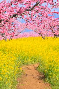 笛吹桃源郷 桃の花と菜の花に小道の写真素材 [FYI02690588]