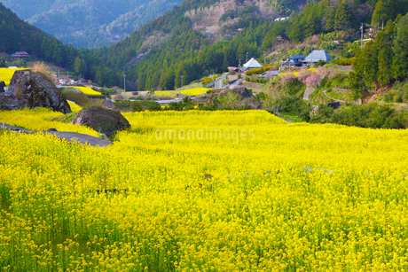 江田の棚田に咲くナノハナの写真素材 [FYI02690696]