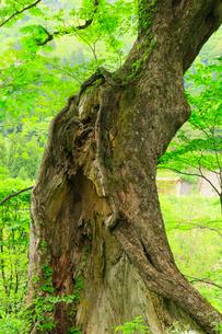 脇谷 トチノキと新緑の写真素材 [FYI02690792]