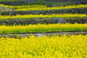 江田の棚田に咲くナノハナの写真素材 [FYI02690866]