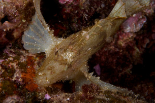 Leaf Scorpionfish stretching its pectoral fins to support itの写真素材 [FYI02690958]