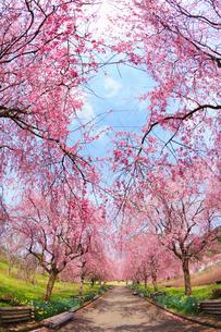 シダレザクラ並木と道の写真素材 [FYI02690975]