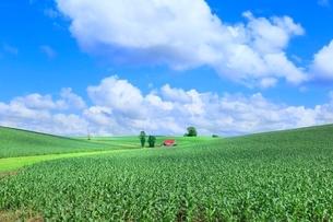 美瑛 赤い屋根の家とトウモロコシ畑の写真素材 [FYI02691020]
