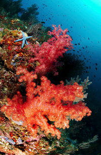 Red soft corals and blue leather sea star, North Sulawesi, Iの写真素材 [FYI02691174]