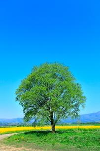 菜の花畑と緑樹に道の写真素材 [FYI02691193]
