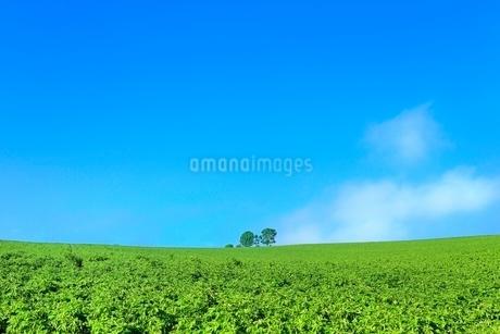 美瑛 親子の木の写真素材 [FYI02691295]