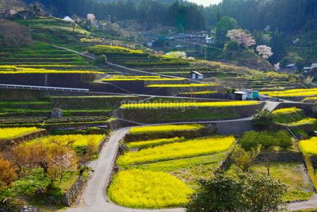 江田の棚田に咲くナノハナと道の写真素材 [FYI02691324]