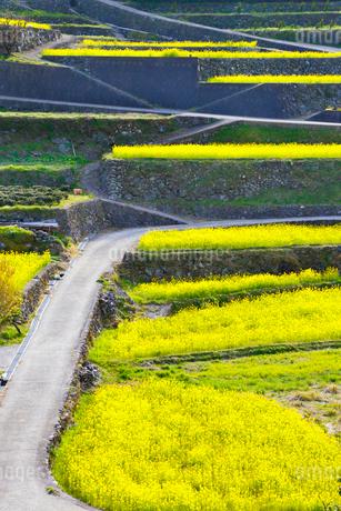 江田の棚田に咲くナノハナと道の写真素材 [FYI02691454]