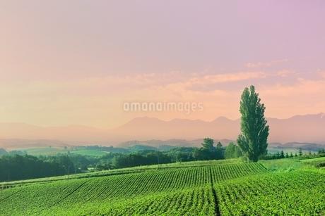 美瑛町 ケンとメリーの木と十勝連峰に朝焼けの写真素材 [FYI02691564]