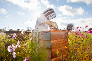Beekeeper using smoker to check beehives in field full of flowersの写真素材 [FYI02691897]