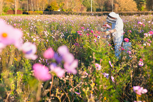 Beekeeper using smoker to check beehives in field full of flowersの写真素材 [FYI02692180]