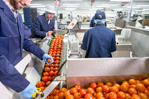 Quality control workers inspecting ripe red tomatoes on production line in food processing plantの写真素材 [FYI02692208]