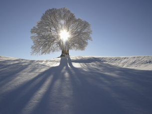 Sun shining through tree in snow, Bavaria, Germanyの写真素材 [FYI02692343]