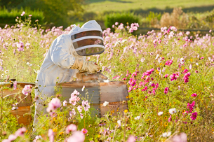 Beekeeper using smoker to check beehives in field full of flowersの写真素材 [FYI02692392]