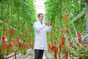 Food scientist examining vine tomato plants in greenhouseの写真素材 [FYI02692438]